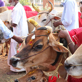 Group Cow Donation Program